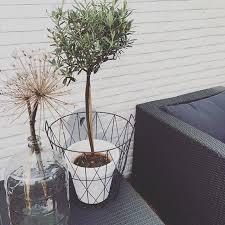 dakterras plant