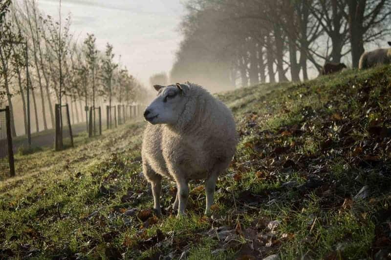 schaap wol